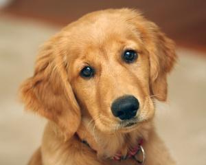 cute-golden-retriever-puppy-animals-baby-animals-dogs-golden